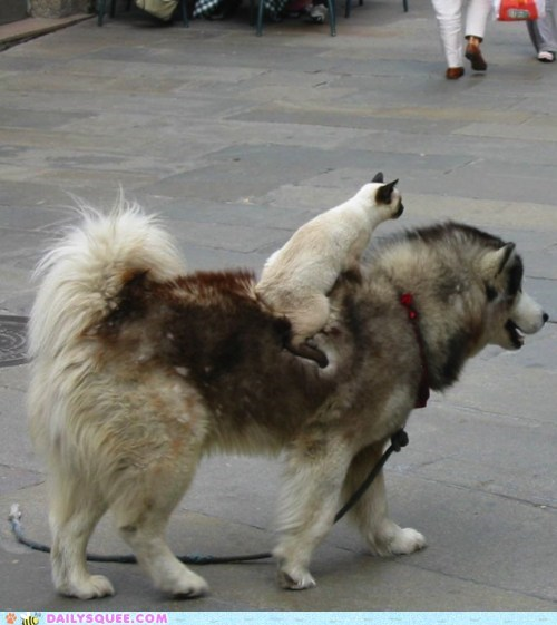 cat dogs husky Interspecies Love ride siamese