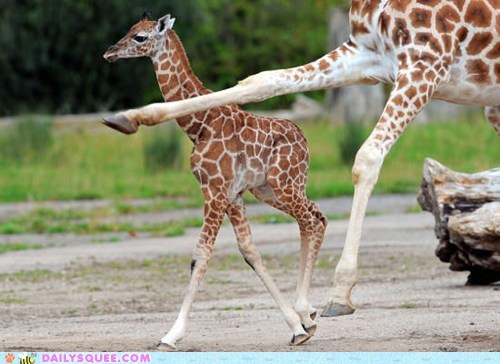 Awkward,giraffes,knees,knobby,run,squee spree