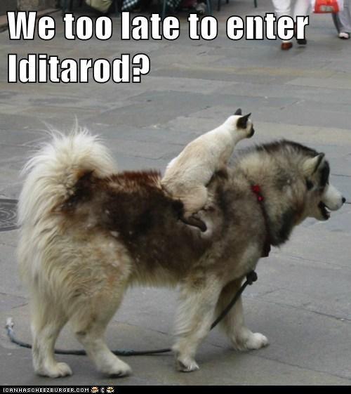 cat dog sled funny husky iditarod - 5937103616