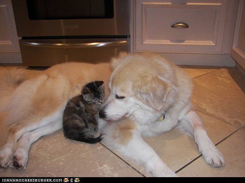 Cats cute dogs goggies r owr friends Interspecies Love kitten - 5938848256