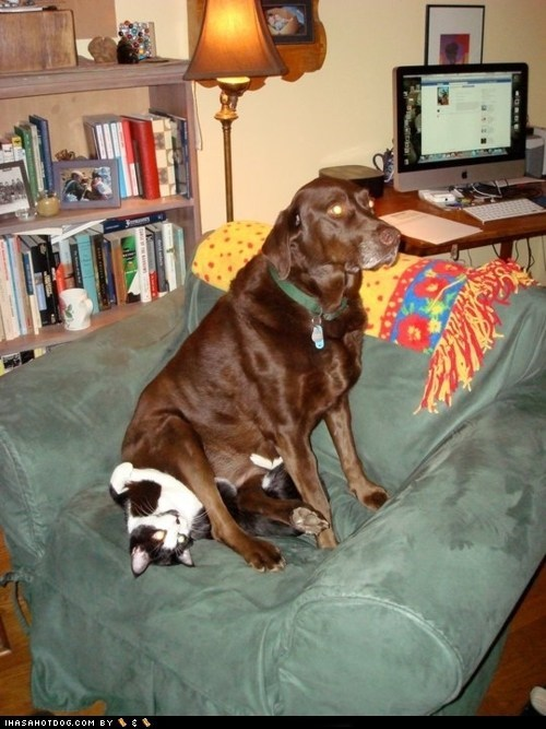 cat funny kittehs r owr friends labrador - 5938867968