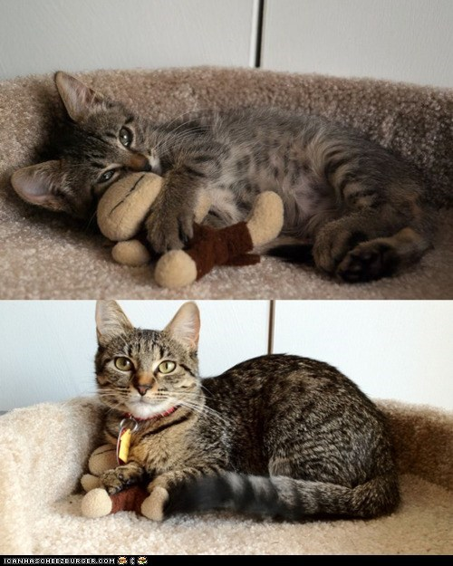 cyoot kitteh of teh day,Growing,grown,grown up,multipanel,stuffed animals,teddy bear,teddy bears,time