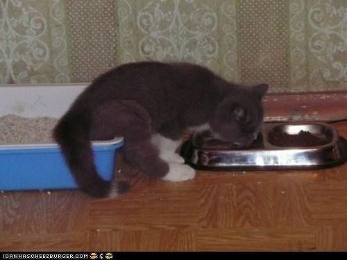 bathroom cyoot kitteh of teh day eating food lazy litter box litterbox poop - 5940008448
