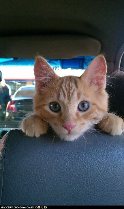cars cyoot kitteh of teh day driving eyes looking back seats - 5940036096
