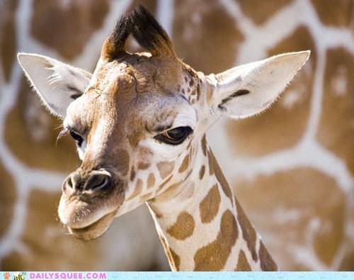 baby giraffes mistrusting skeptical squee spree