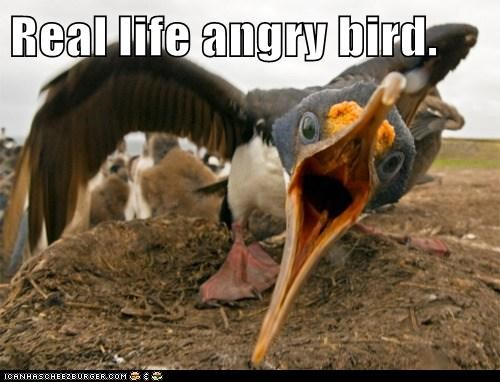angry angry birds beaks birds games IRL real life - 5940555520
