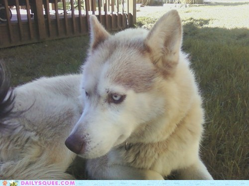 abused,dogs,husky,pet,reader squees,rescue,yard