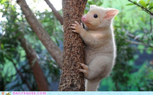 creepicute,creepy,golden brushtail possum,tree,white