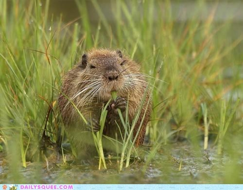 creepicute eat grass nutria water wet - 5944062976