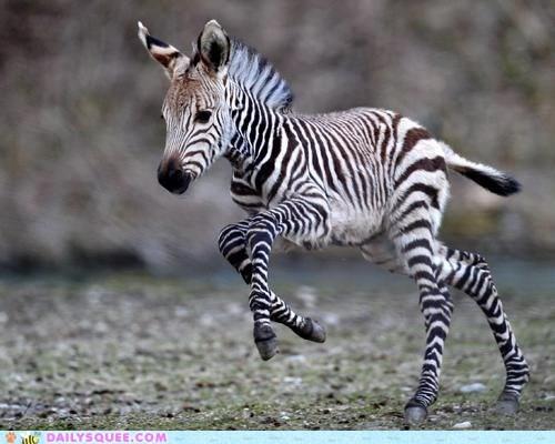 colt knobby legs run zebra - 5944080640