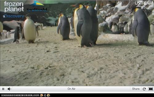 discovery,live stream,penguin,penguins,Video