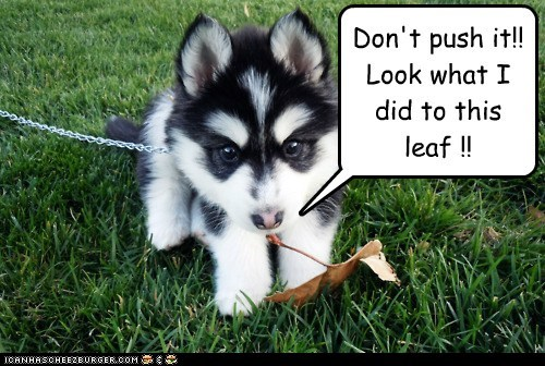 cyoot cyoot puppy ob teh day funny husky puppy - 5946957568