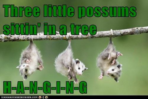 Three little possums sittin' in a tree  H-A-N-G-I-N-G