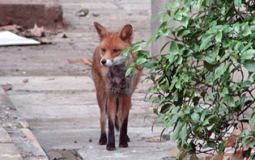 common red fox,mugging,Photo,urban foxes,When Animals Attack