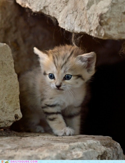 curious kitten rock sand cat - 5949142272