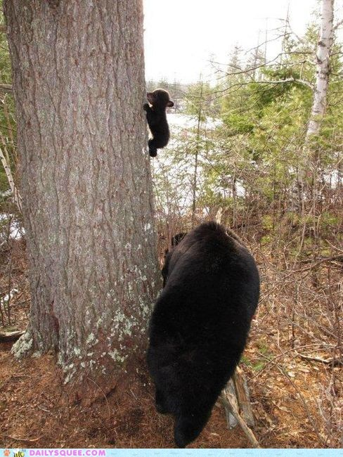 baby bears climb climbing cub cubs family mom squee tree trees