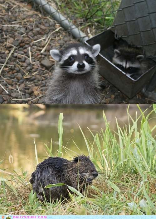 Battle,nutria,poll,raccoon,squee spree