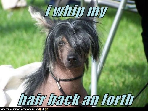 chinese crested,dogs,funny