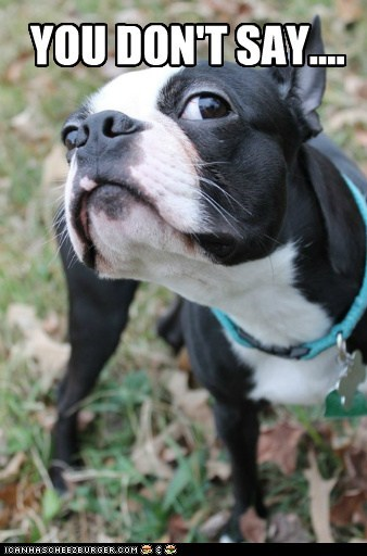 boston terrier dogs funny - 5953434368