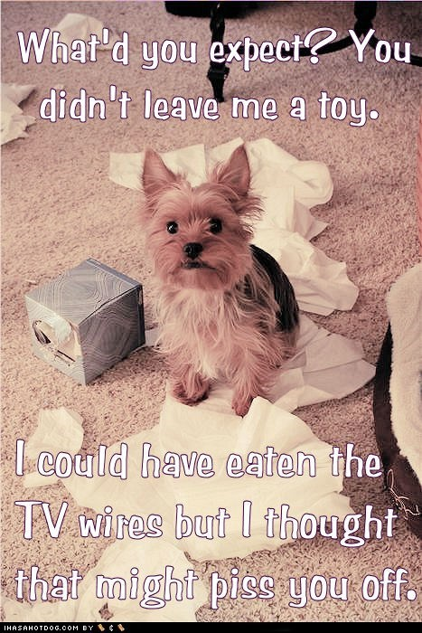 dogs funny yorkshire terrier - 5954249472