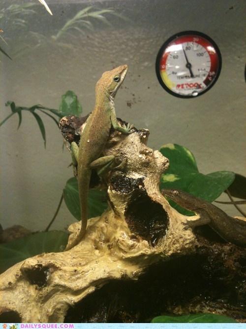 anole lizard pet reader squees steve buscemi - 5966250496