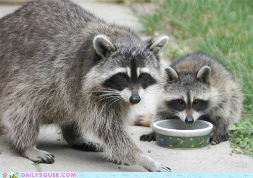 bandits,bowl,eat,raccoons,squee spree,winner