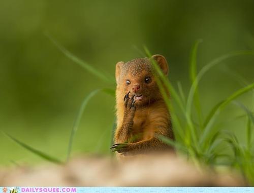 mongoose mustelid weasel whatsit wednesday