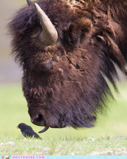 bird,birds,bison,buffalo,friends,Interspecies Love,KISS,lick,licking,tongue,tongues