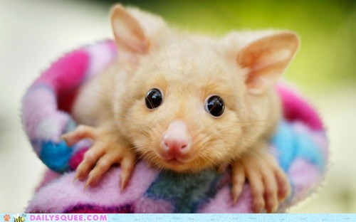 blanket,golden brushtail possum,possum,wrap