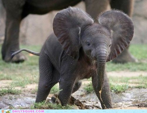baby big ears calf calfs ears elephant elephants messy mud muddy play playing puddle squee - 5967796480