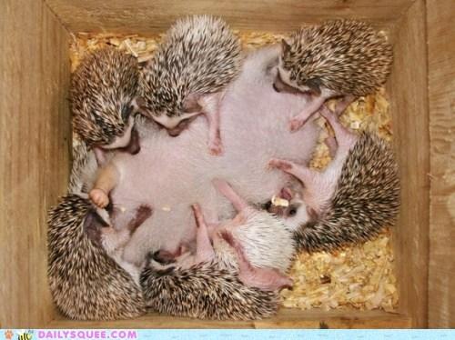 Babies eat family hedgehog hedgehogs mom moms nursing squee - 5967801856