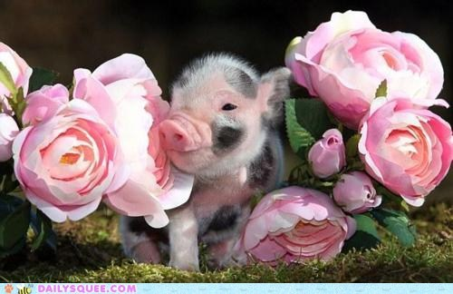 flowers Hall of Fame piglets pig pink roses squee - 5968013312