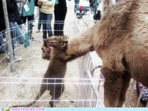 alpaca,fence,hug,Interspecies Love,kangaroo