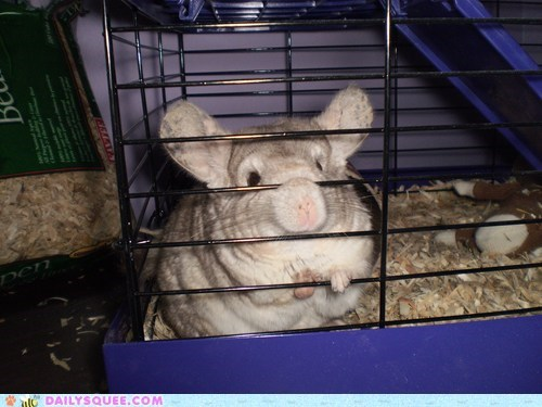 apollo,cage,chinchilla,pet,reader squees