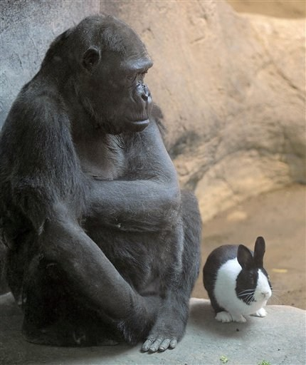 bunneh,Erie Zoo,gorilleh,Interspecies Intermingling