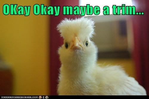 chicken feathers hair haircut trim - 5970810624