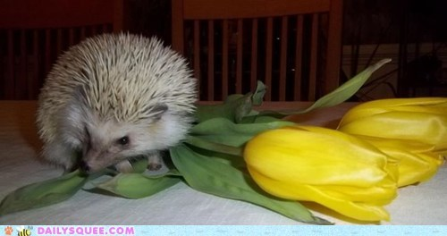 Flower,hedgehog,prickly,tulip