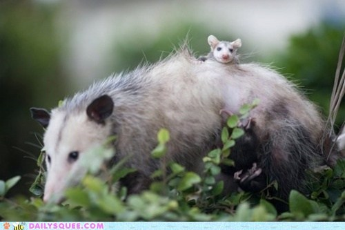 Babies,back,bus,opossum,ride