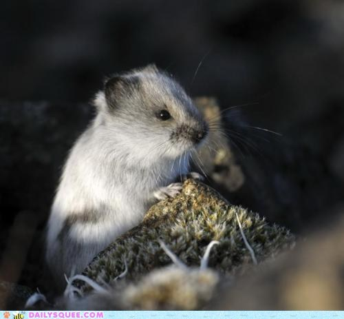 cute furry pika rodent - 5971791104
