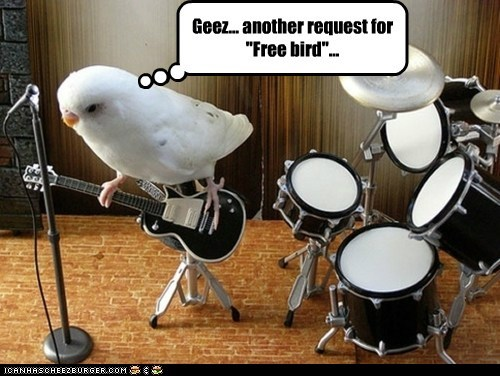 annoyed band bird budgie drums Music parakeet play