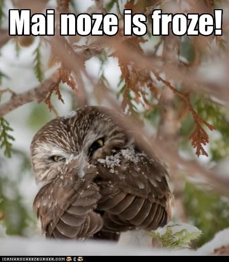 beak cold frozen glare nose Owl snow winter - 5975186944
