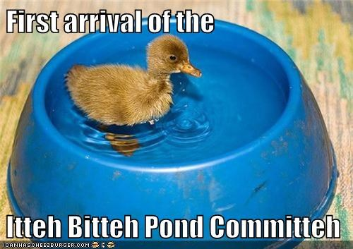 committee,duck,duckling,first,itty bitty,meeting,waiting