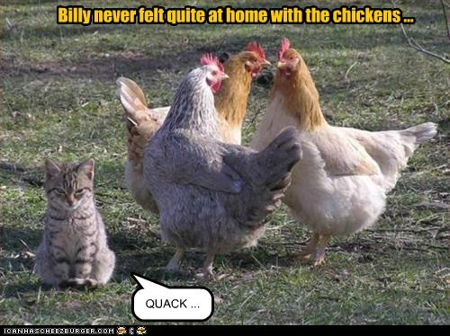 QUACK ... Billy never felt quite at home with the chickens ...