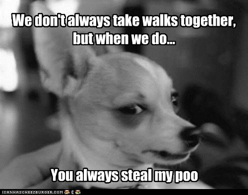 chihuahua,dogs,funny