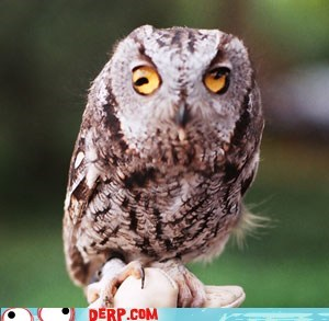 animal derp Owl - 5978980864