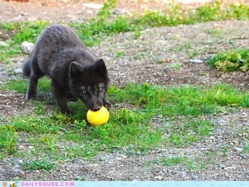arctic ball fox play - 5979759616
