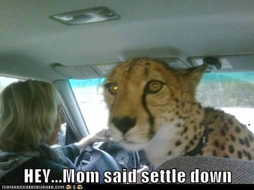 calm,car,cheetah,children,drive,parents,settle down