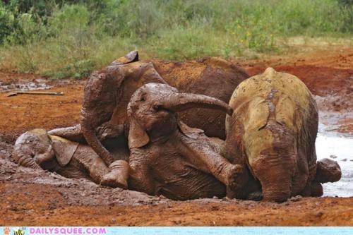elephant elephants family messy mud bath muddy play roll - 5981297664