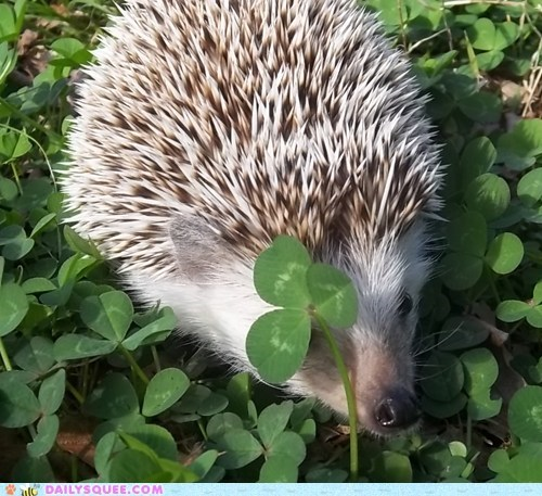 clover hedgehog luck outside shamrock
