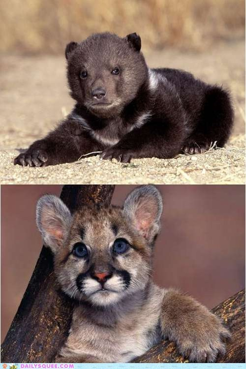 Babies Battle bear cubs cougar cubs poll squee spree vote - 5982392064
